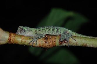 Photo: Norops capito, Esquinas Rainforest (8:42/-83:12), 19-05-2006, Author: Erwin Holzer, det. Gerardo Chaves