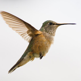 by John LeBlanc - Animals Birds ( birds, hummingbirds )
