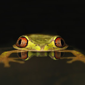 Frog in the Pond by David Knox-Whitehead - Animals Amphibians ( water, macro, red eyes, frog, green, floating, pond, amphibians, eyes )