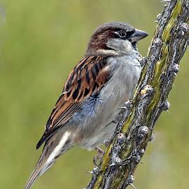 House Sparrow by Dawn Hoehn Hagler - Animals Birds ( tucson, arizona, bird, desert museum, zoo, house sparrow,  )