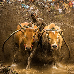 Pacu Jawi (cows race) by Teddy Winanda - News & Events Sports ( west sumatera tourism, minangkabau tourism, indonesia tourism, cows race, pacu jawi )