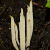 fairy fingers, white worm coral