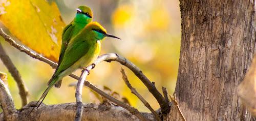 Two birds on a tree by Basant Malviya - Animals Birds ( nature, animal, birds,  )