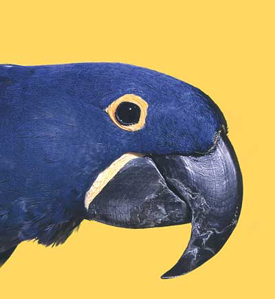 Despite the initial investment to purchase, it is not uncommon for the hyacinth macaw to be moved from home to home due to the great demands of upkeep