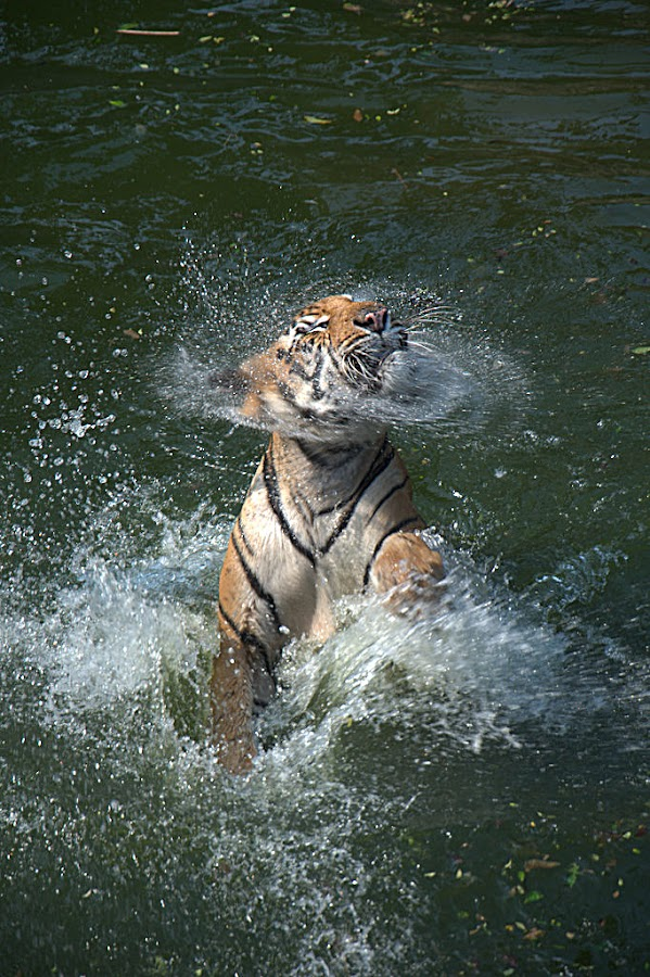 Tiger Bathing by Susy Nataly - Animals Lions, Tigers & Big Cats ( tiger )