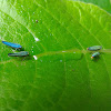 Blue Striped Leafhopper