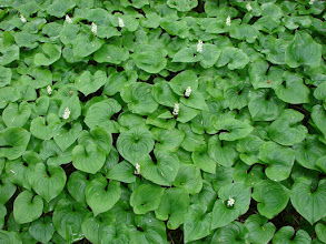 Photo: These False Lily-Of-The-Valley plants covered the ground on Kitson Island.