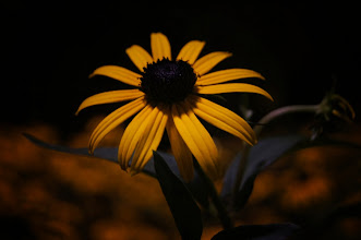 Photo: Black eyed Susans (yellow flowers) at night.   Washington Square Park. Greeenwich Village, New York City.  View the writing that accompanies this post here at this link on Google Plus:  https://plus.google.com/108527329601014444443/posts/Fs3RKjGj2aM  View more New York City photography by Vivienne Gucwa here:  http://nythroughthelens.com/