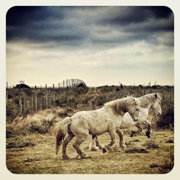 Casper & Lego taking off in the howling wind #percheron #cousins #farmlife #legoblock #igersgrahamstown #windyafternoon #horses by Renette Kleinhans - Animals Horses
