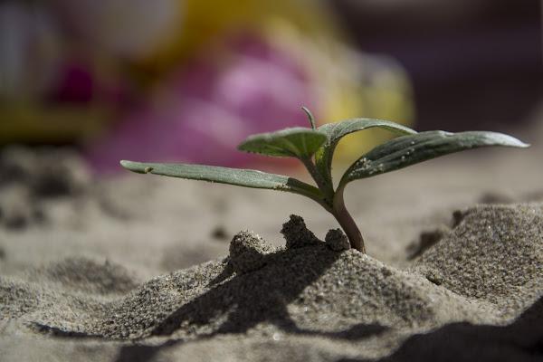Piantina in spiaggia di paolo_ross