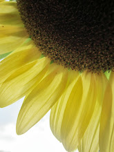 Photo: Yellow sunflower against a white sky at Cox Arboretum in Dayton, Ohio.