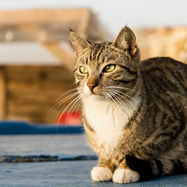 Cat on a boat by Anthony Cassar Aveta - Animals - Cats Portraits ( sunbathing, basking, cat, shore, sun, boat, sea )