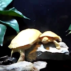 Red Eared Slider (Albino)