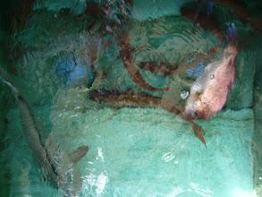 Photo: カワサキさんのお魚たちです!