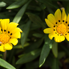 Yellow Flower by Deborah Bisley - Flowers Flower Gardens ( yellow flower with black dots, two flowers, daisy, black dots, yellow flower, flower,  )