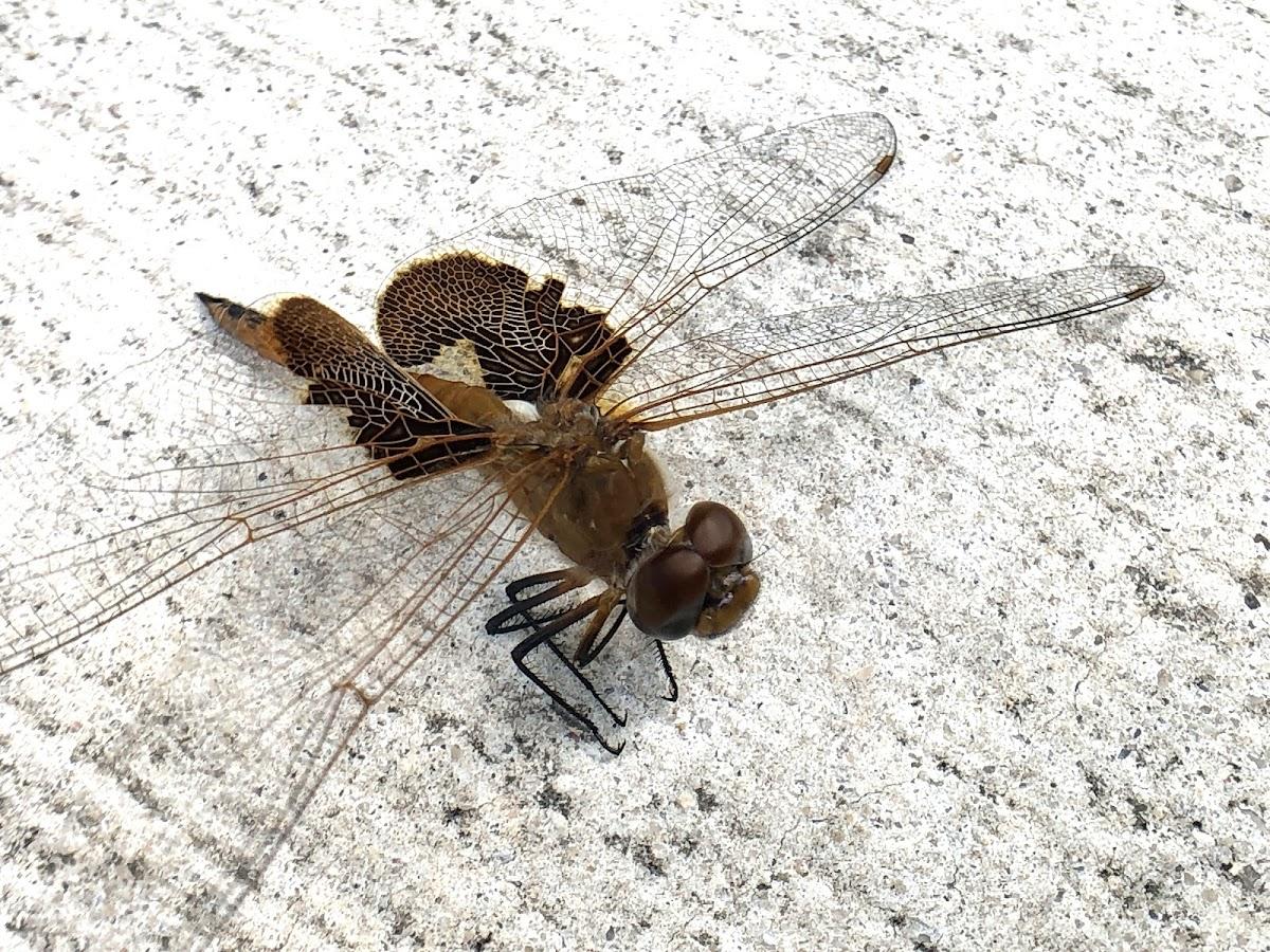 Red Saddlebag Dragonfly