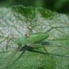 Sickle-bearing Bush-cricket(nymph)