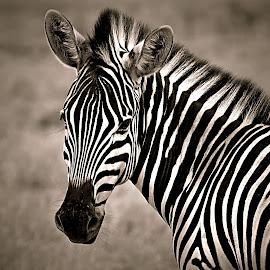 by Pieter J de Villiers - Black & White Animals