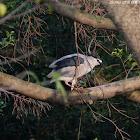 Nycticorax nycticorax 夜鷺