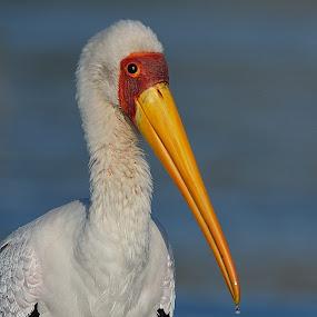 Yellow-Billed Stork by Karen Seidel - Animals Birds ( bird, stork, yellow-billed stork, birds,  )