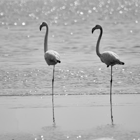 Fenicotteri by Vito Masotino - Novices Only Wildlife ( animals, wild life, nature, flamingo, africa, birds,  )