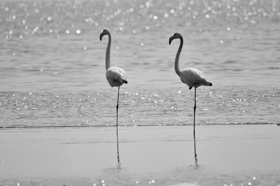 Fenicotteri by Vito Masotino - Novices Only Wildlife ( animals, wild life, nature, flamingo, africa, birds,  )