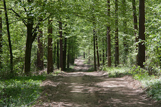 Photo: Leśna droga przygotowana do wjazdy maszyn ścinających drzewa.