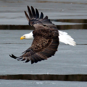Bald Eagle in Flight by Beth Collins - Animals Birds ( bird, flight, eagle, winter, bird of prey, ice, majestic, bald eagle, river,  )