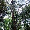 Johore Fig