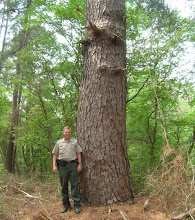 Photo: May started the talk about an ongoing drought and also took us to Bastrop State Park with Superintendent, Todd McClanahan -- just a couple months before the drought helped fuel the worst wildfire in Texas history, burning 95% of the park, along with 1,500 homes. Did this big loblolly pine (Pinus taeda) survive?