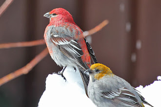 Photo: Pine Grosbeak