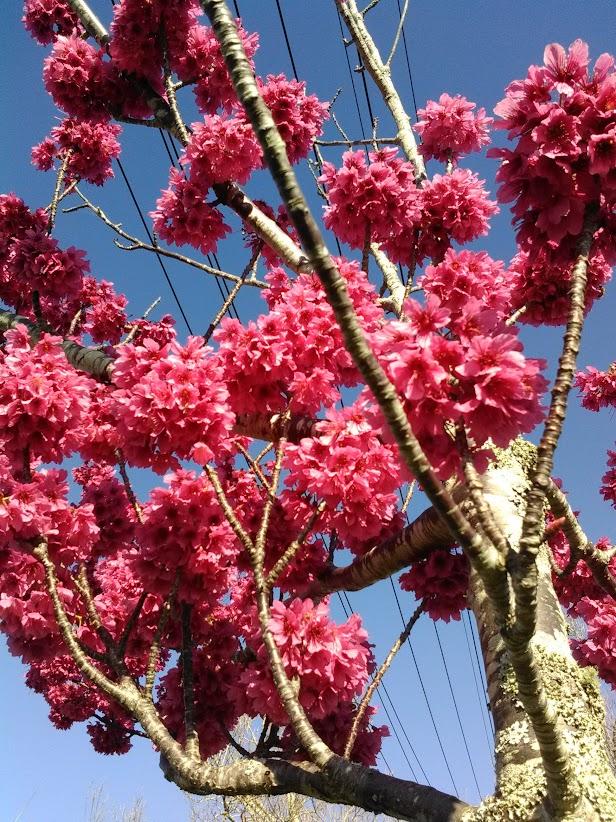 色の濃い桜