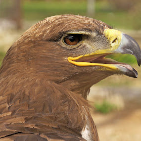 Steppe Eagle by Akbar Ali Asif - Animals Birds ( pakistan, agressive eyes, birds of prey, nature, akbaraliasif, brown birds, steppe eagle, nature up close, nature close up, eagles, birds, eyes,  )