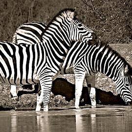 Zebra Alert by Pieter J de Villiers - Black & White Animals