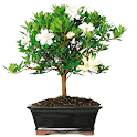 Indoor Bonsai Tree Design icon