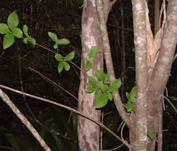 Photo: Picklewood - Guettarda elliptica, Endangered, Family: RUBIACEAE, showing mottled bark.  Ironwood Forest, Grand Cayman, photo: Ann Stafford July 16, 2003