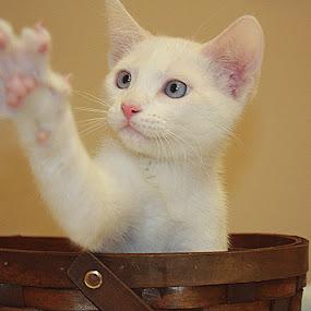 Ollie by Sharon Scholtes - Animals - Cats Kittens ( cat, kitten, blue, paw, white, feline,  )