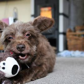 Dog with birthday present by Carola Mellentin - Animals - Dogs Playing (  )