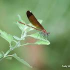 Copper Winged Demoiselle