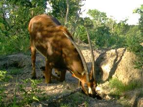 Photo: Old Sarah carries impressively long horns; A velha Sara apresenta cornos extremamente longos.