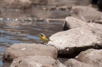 Photo: Common Yellowthroat (Weiden-Gelbkehlchen); San Miguel de Allende, GTO