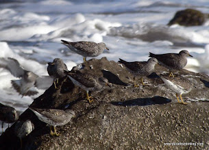 Photo: Surfbirds on the rocks at Matanchen Bay