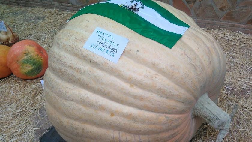 La calabaza más grande de Andalucía pesa 432 kilos y ha sido cultivada por el almeriense Manuel Planells.