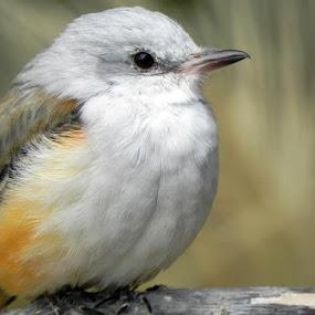 Sissor-tailed Flycatcher  by Denise Guthery - Animals Birds (  )