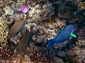 Photo: pair of spotted starry rabbitfish and a parrotfish, Ao Maeyai