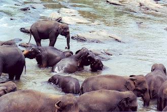 Photo: #006-Le bain des éléphants à Pinnawela