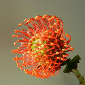Pincushion Closeup by Kathy Rose Willis - Flowers Single Flower ( orange, orange flower, tropical flower, green, close up,  )