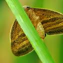 Ricaniid Planthopper, Moth-like planthopper