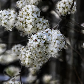 Spring Flowers by Ed Stines - Flowers Tree Blossoms ( white flowers, spring flowers, tree blossoms, tree flowers, flowers, spring blossoms, springtime, spring, blossoms,  )