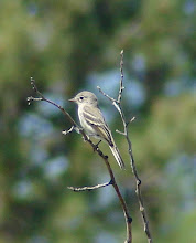Photo: Gray Flycatcher on Nine Mile Rd